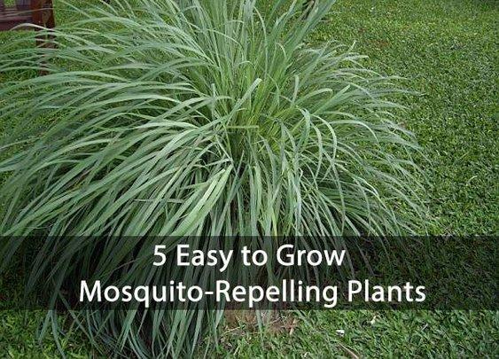 5 Easy to Grow Mosquito-Repelling Plants - SHTF Preparedness