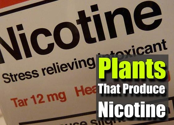Plants That Produce Nicotine - SHTF Preparedness