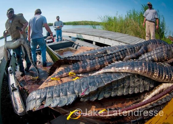 Grosse Savanne  - Louisiana alligator hunting