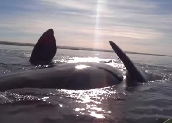 SEE IT: Two kayakers lifted up out of the water by a whale off coast of Argentina (VIDEO)  - NY Daily News