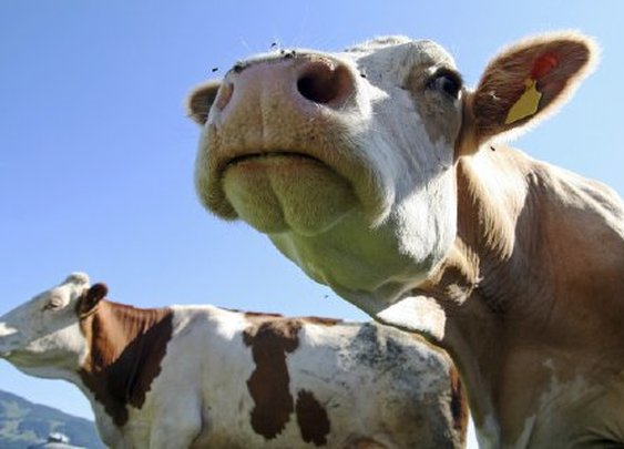 Cow farts cause barn to explode in Germany - San Jose Mercury News