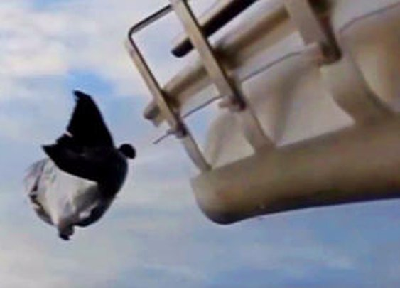 Salmon cannon fires 40 fish a minute