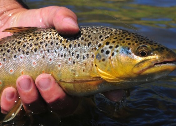 Best Fly Line for Trout | Chucking Fluff