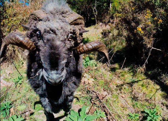 Angry ram takes down a quadcopter drone... and it's owner
