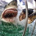 Stunning great white shark image 'just luck'