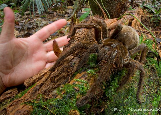 Puppy-Sized Spider Surprises Scientist in Rainforest