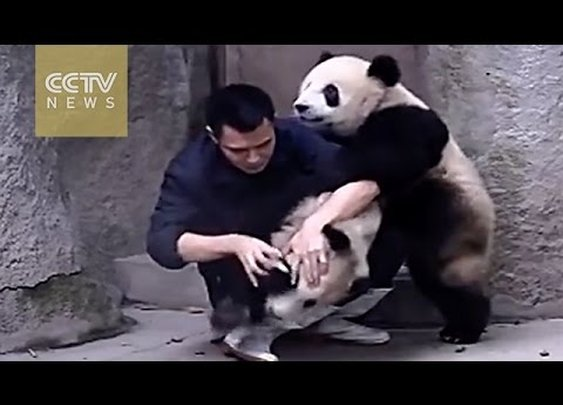 Cute Alert!Clingy pandas don't want to take their medicine -