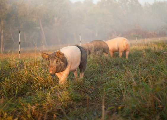 How To Raise Pigs On Pasture | Smith Meadows