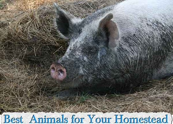 Best Animals for Your Homestead - LivingGreenAndFrugally.com