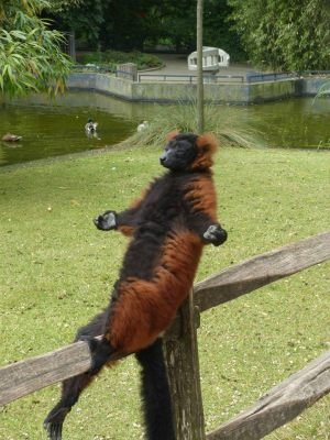 Lemur is at peace with the world