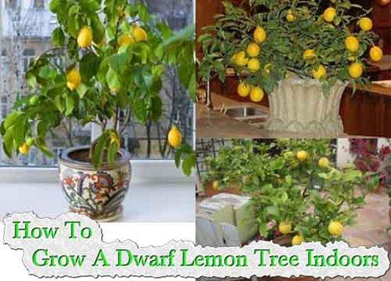 How To Grow A Dwarf Lemon Tree Indoors - LivingGreenAndFrugally.com