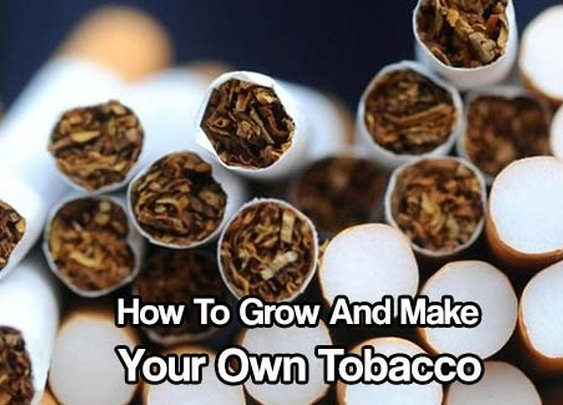 How To Grow And Make Your Own Tobacco  - SHTF & Prepping Central