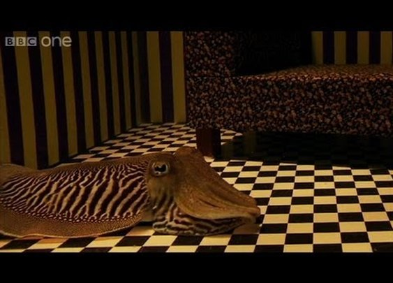 Can Cuttlefish camouflage in a living room? - YouTube