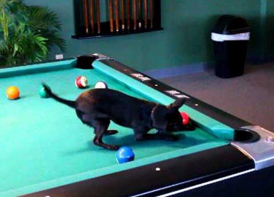 Chihuahua  Playing Pool - YouTube