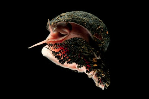 This Badass Snail Has a Shell Made of Iron | WIRED