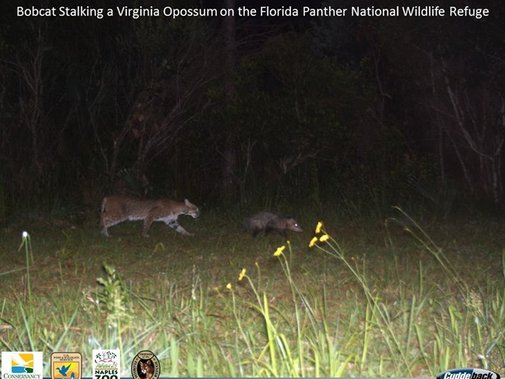 Bobcat Stalking a Virginia Opossum