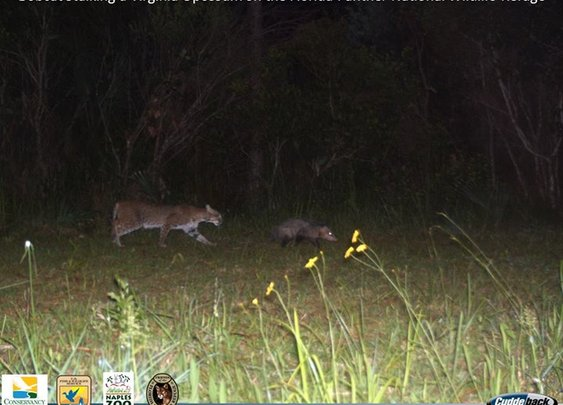 Bobcat Stalking a Virginia Opossum