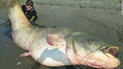 280 pound catfish caught