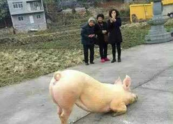 Praise The Lard! Pig Seen Worshiping In Front Of Temple