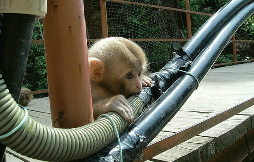 Monkeys Can't Stop Eating India's Delicious Fiber Optic Cables