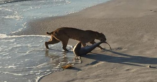 Florida bobcat snatched a shark out of the ocean like it was nothing