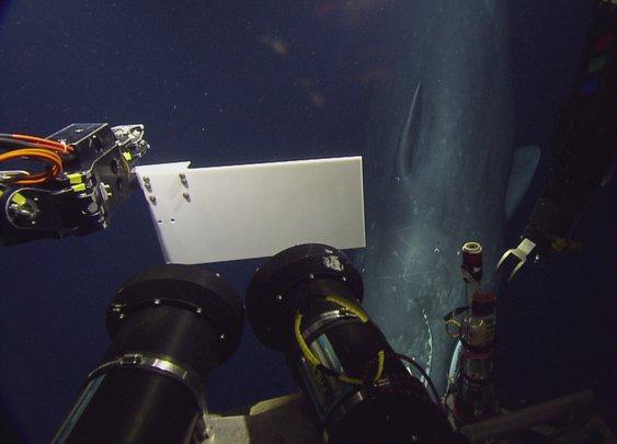 Rare Sperm Whale Encounter with ROV