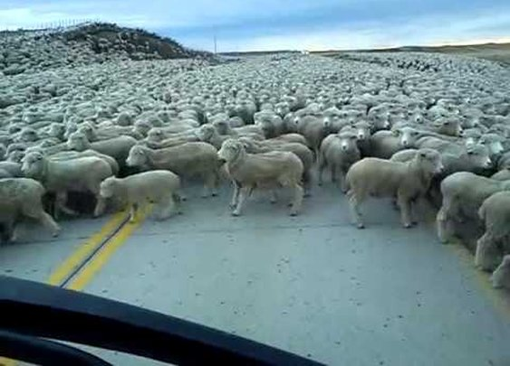 Thousands of Sheep Block a Road