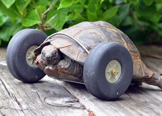 90-Year-Old Tortoise Moves Better Now with Wheels