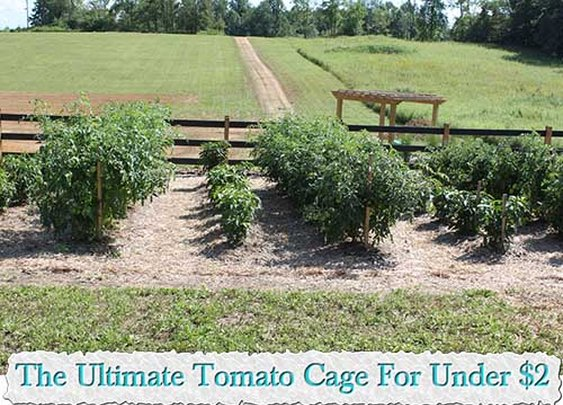 The Ultimate Tomato Cage For Under $2