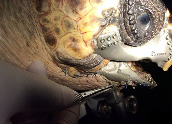 Wounded turtle can return to the ocean thanks to a 3D-printed beak
