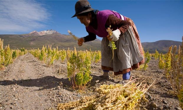 Can vegans stomach the unpalatable truth about quinoa?