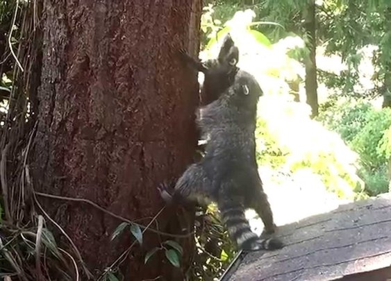 Mother Raccoon teaches kit how to climb a tree - YouTube