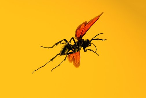 If This Wasp Stings You, 'Just Lie Down and Start Screaming' | WIRED