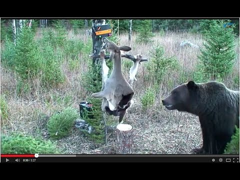 Bear vs. Electrified Deer Carcas