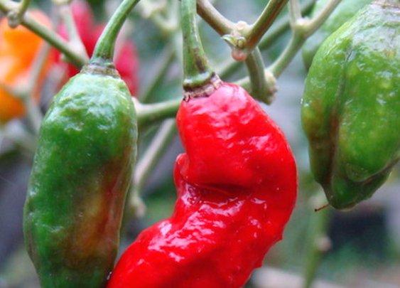 Carolina Reaper Vs. Ghost Pepper: PepperScale Showdown