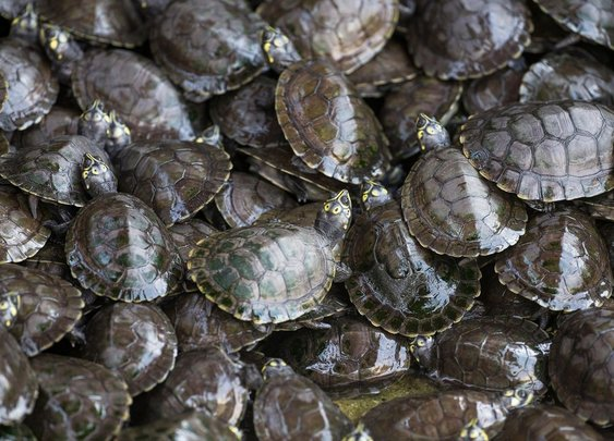 India Once Released 25,000 Flesh-Eating Turtles Into the Ganges | Smart News | Smithsonian