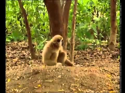 A monkey bullies two tigers! (Funniest Video Ever) - YouTube