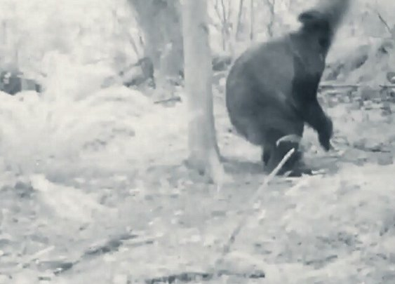Possibly drunk or high bear tries to scratch back on tree, misses repeatedly, is hilarious - Boing Boing