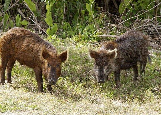 Feral Hogs Rat Out Texas Marijuana Farm