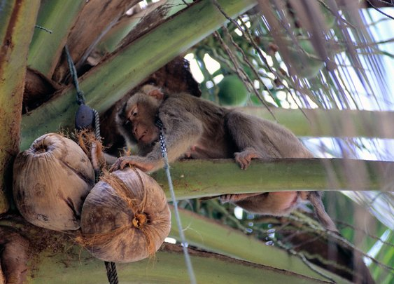 Monkeys Pick Coconuts In Thailand