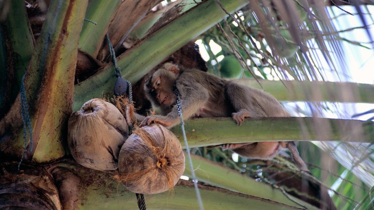 Monkeys Pick Coconuts In Thailand