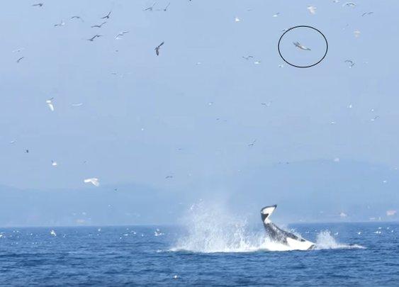 Orca Rockets Unfortunate Seal 80 Feet Into the Air | Mental Floss