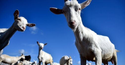 Goat farts blamed for emergency plane landing