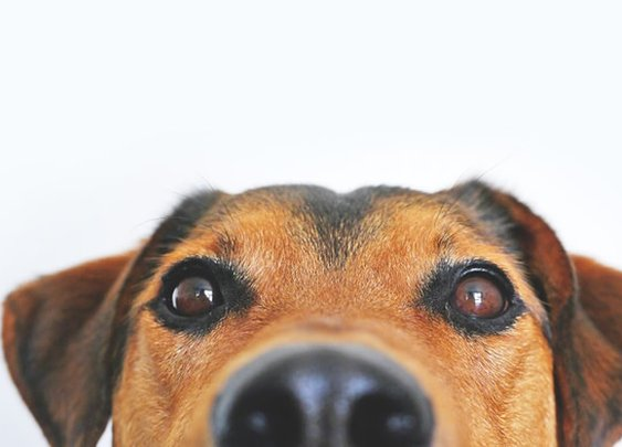 Dogs Have A Conscience Too | Neuroscience News