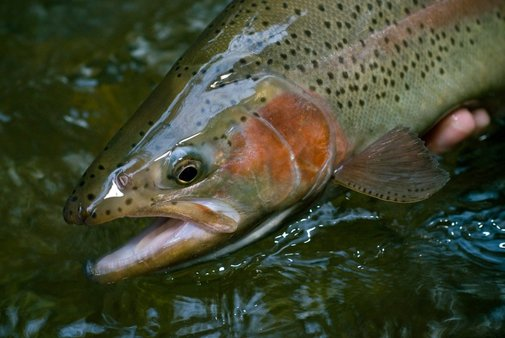 Catching Big Trout Sometimes Takes Multiple Attempt