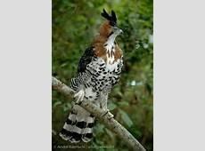 ornate hawk-eagle - Bing images