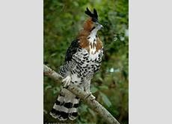 ornate hawk-eagle - Bing images