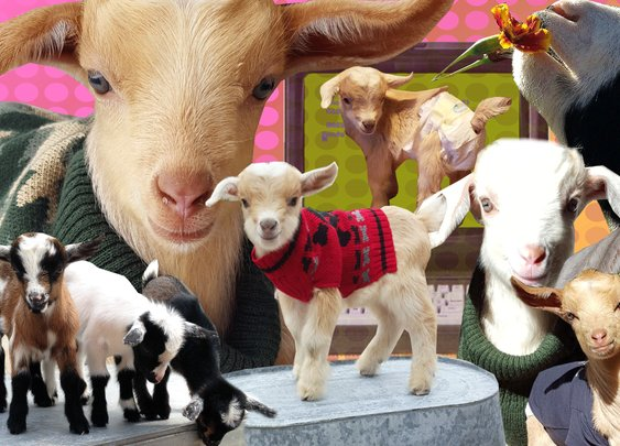Why goats are the internet's new cats | Fusion