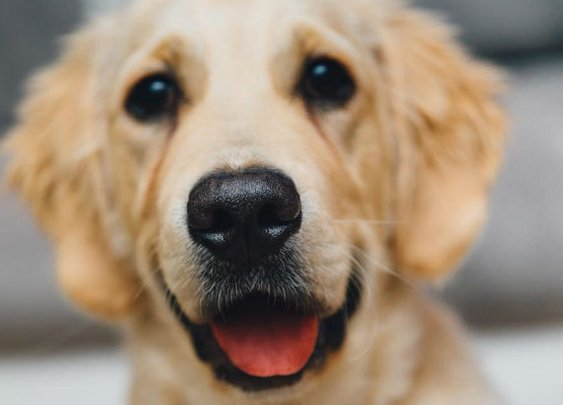 Dogs Can Help Detect Prostate Cancer Accurately   ToppCock