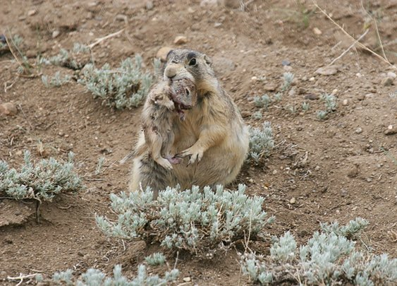 Prairie Dogs Are Serial Killers That Murder Their Competition